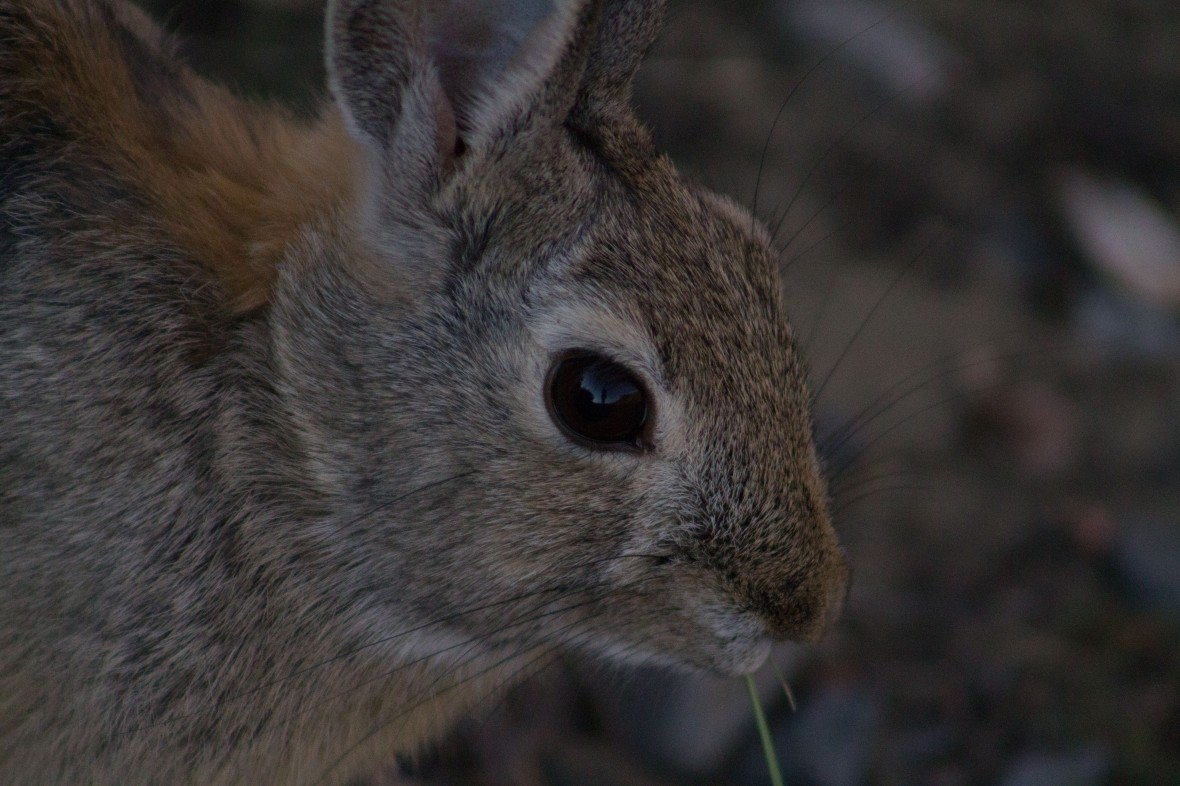 cottontail-1